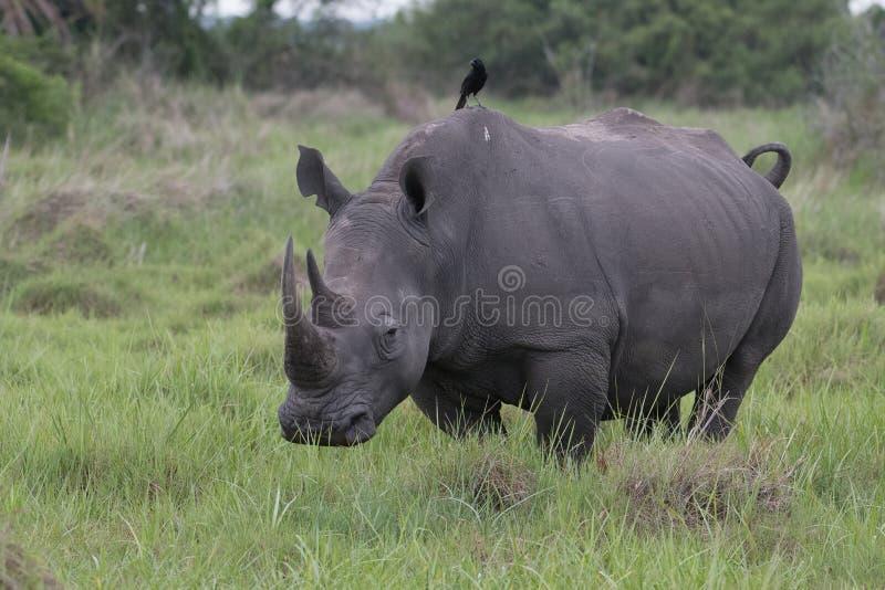 Ein Abschluss herauf Foto eines gef?hrdeten wei?en Nashorns/des Nashorngesichtes, des -horns und des -auges Ber?hmter Kanonkop We lizenzfreie stockfotografie