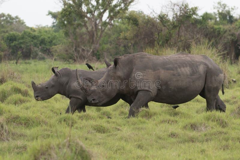 Ein Abschluss herauf Foto eines gef?hrdeten wei?en Nashorns/des Nashorngesichtes, des -horns und des -auges Ber?hmter Kanonkop We stockfotos