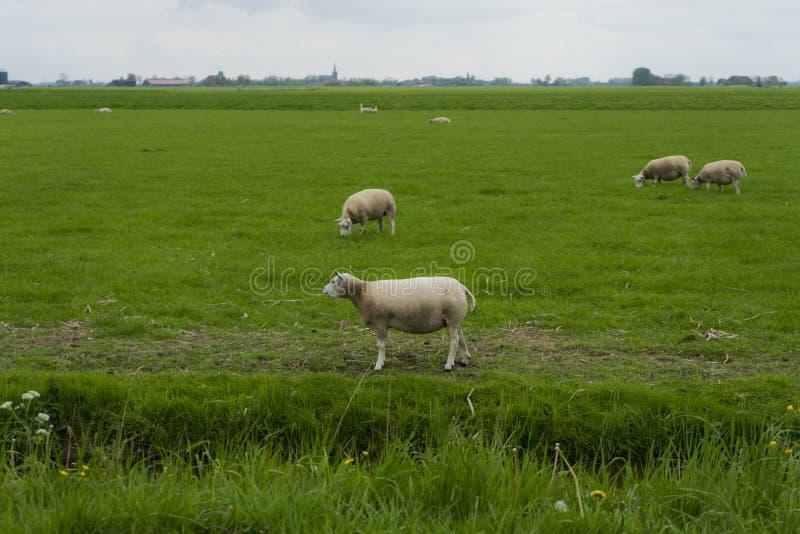 Ein Abschluss herauf Schafe im Vordergrund mit einer Gruppe wei?en Schafen, die im Hintergrund weiden lassen Reine niederl?ndisch stockbild