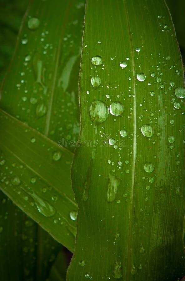 Ein Abschluss oben des Tauwassertröpfchens auf einem Grünkernblatt stockfoto