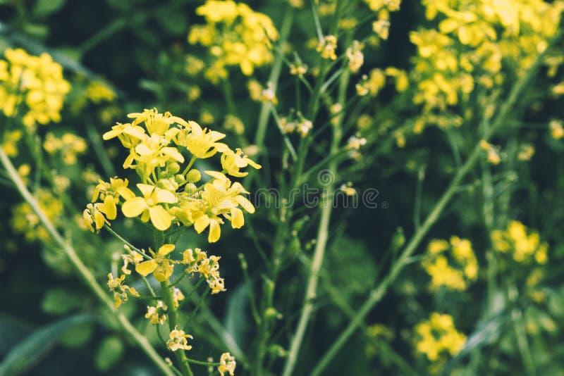 Ein Abschluss oben einer erstaunlichen gelben Blume stockbilder
