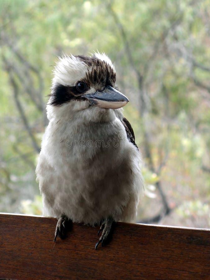 Ein Abschluss oben eines australischen Lachenders Hans gehockt auf einer Schiene, die auf den Vogelkopf sich konzentriert lizenzfreies stockfoto