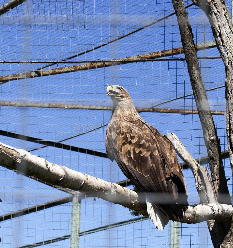 ein Adler lizenzfreie stockfotos