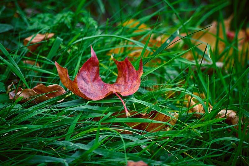 Ein Ahornblatt, das auf einem grünen Gras liegt stockfoto
