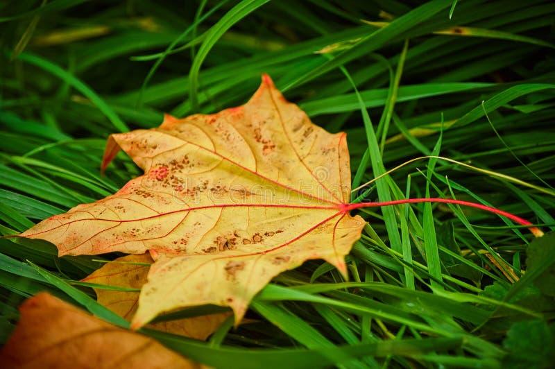 Ein Ahornblatt, das auf einem grünen Gras liegt lizenzfreie stockbilder