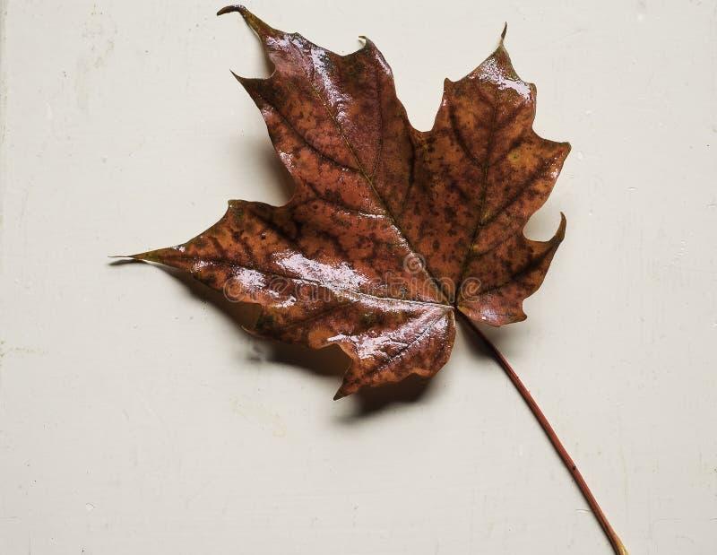 Ein Ahornblatt nach einem Regen stockbild