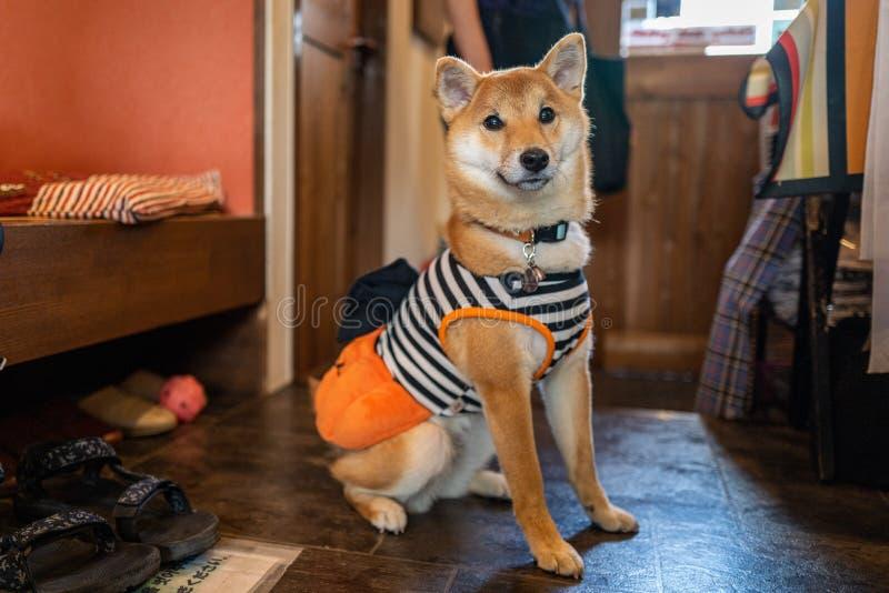 Ein Akita-Hund in einem Café in Tokio lizenzfreies stockfoto