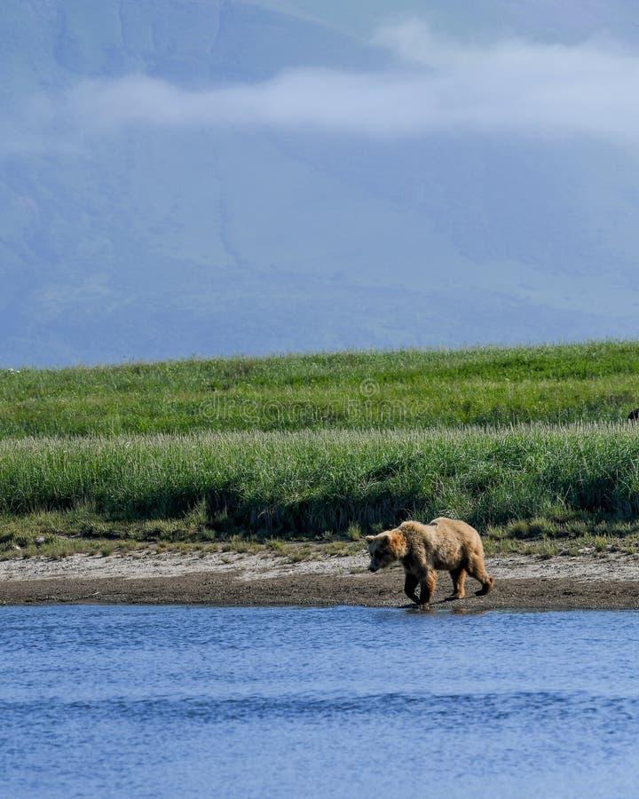 Ein alaskischer Braunbär nähert sich einem Fluss im Nationalpark Katmai lizenzfreies stockbild