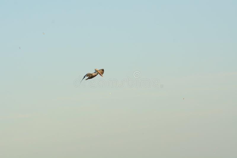 Ein alleine Pelikan flys, die oben nach Nahrung suchen stockbild