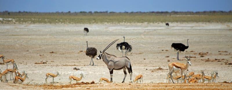 Ein alleiner Oryx umgeben durch verschiedenes Spiel an einem vibrierenden waterhole in Nationalpark Etosha stockfotos