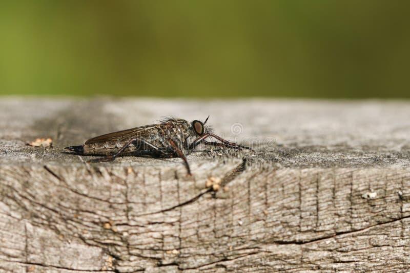 Ein allgemeines cyanurus Ahle Robberfly Neoitamus, das auf einem Bretterzaun am Rand des Waldlandes hockt Es jagt, damit Insekten stockbild