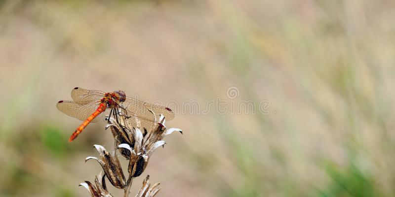 Ein allgemeines Darterlibelle Sympetrum-striolatum, das auf etwas toter Vegetation stillsteht, während auf, die auf das Opfer und lizenzfreie stockfotografie