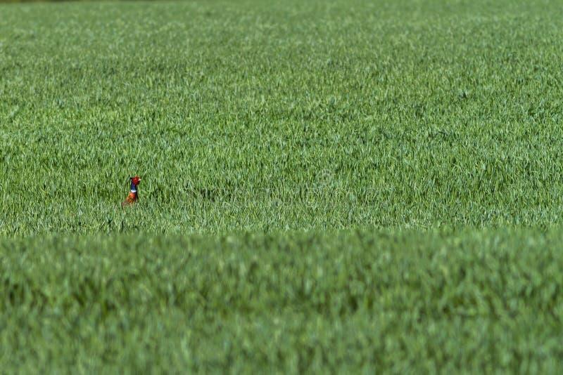 Ein allgemeines Fasan Phasianus colchicus auf dem grünen Gebiet stockbild