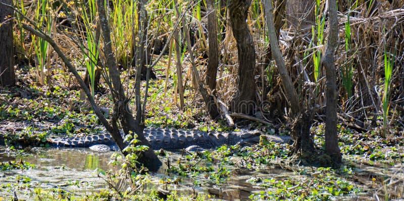 Ein Alligator im Sumpf lizenzfreies stockbild