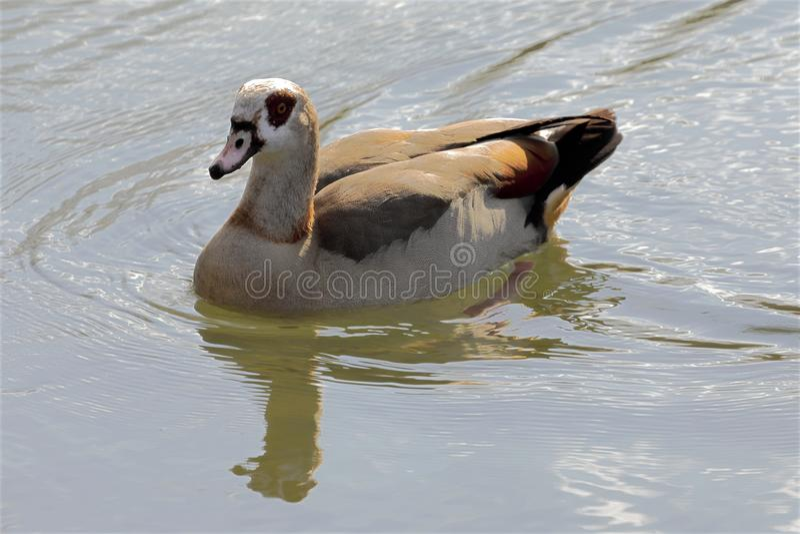 Ein Alopochen ägyptiacus auf dem Seeufer - alopochen aegyptiaca lizenzfreies stockbild