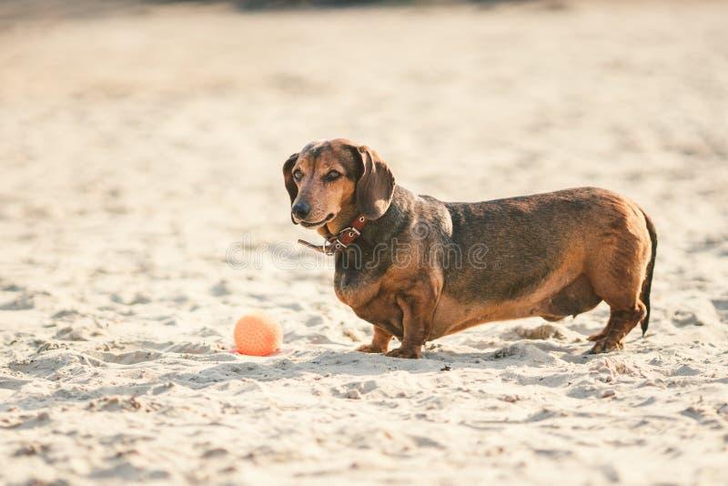 Ein alter fetter kleiner brauner Dachshundhund spielt mit einem roten Gummiball auf einem sandigen Strand im sonnigen Wetter lizenzfreie stockbilder
