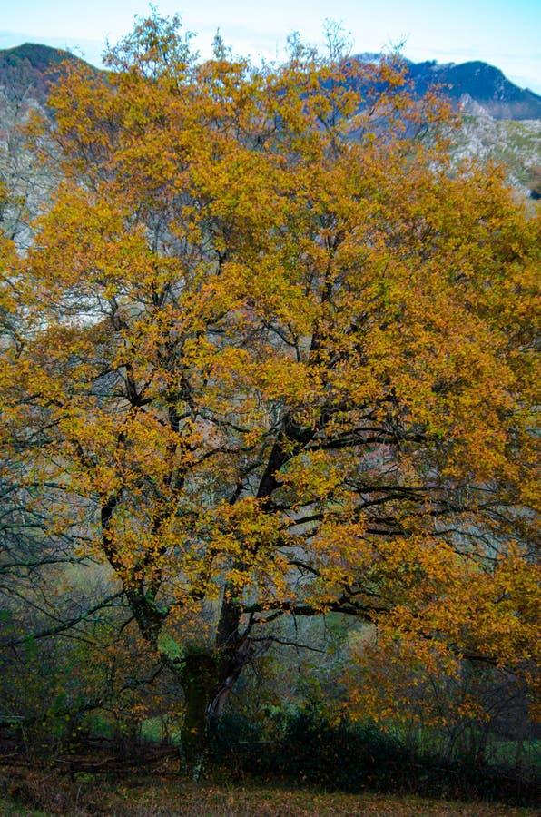 Ein alter gelber Baum lizenzfreie stockfotos