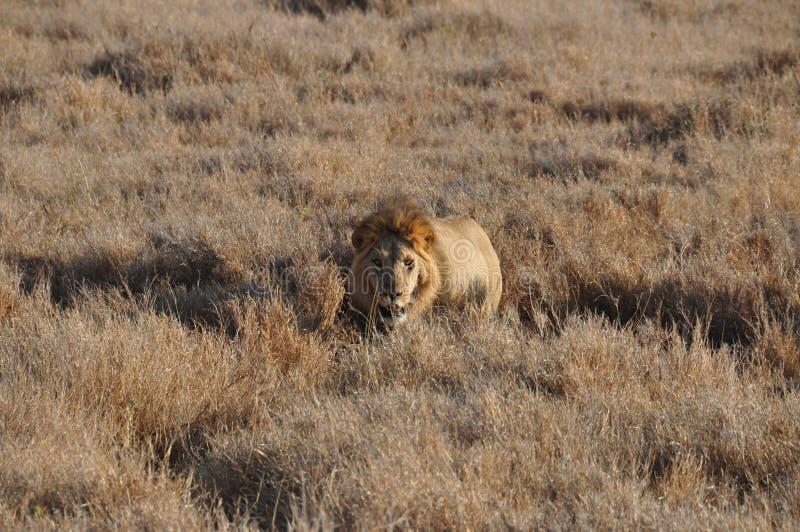 Ein alter männlicher Löwe, der vom hohen Gras sich nähert lizenzfreie stockfotografie