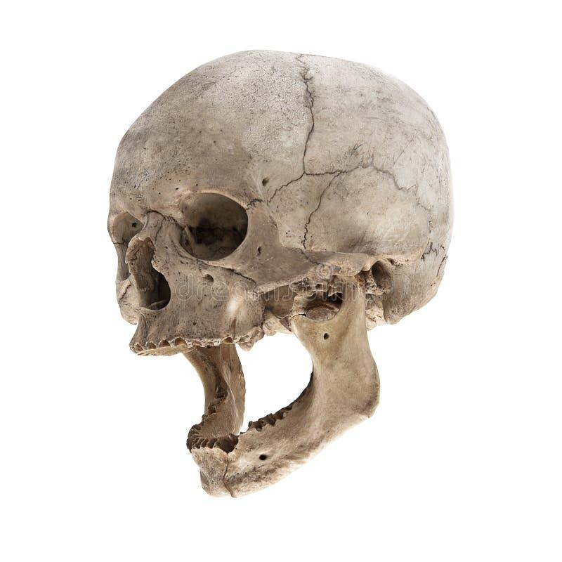 Ein alter menschlicher Schädel mit einem Kiefer stockfoto