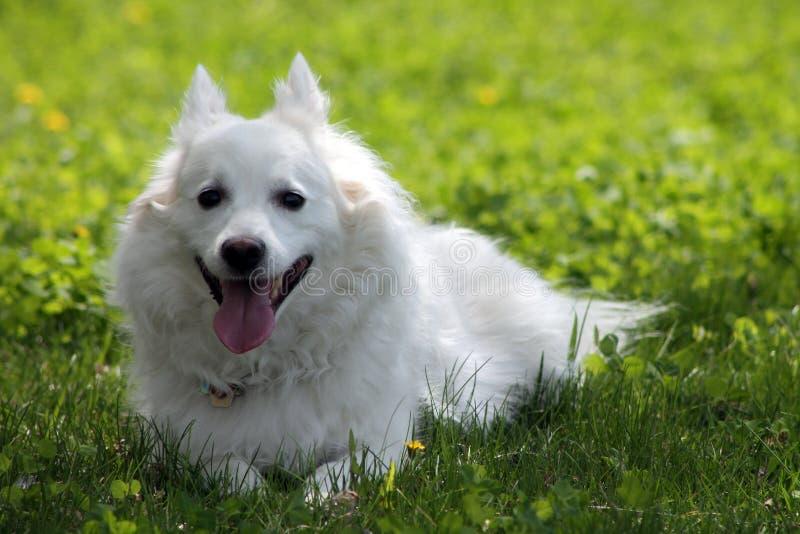 Ein American Eskimo Dog lizenzfreies stockbild