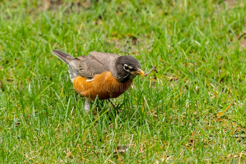 Ein amerikanischer Robin findet einen Wurm lizenzfreie stockfotografie