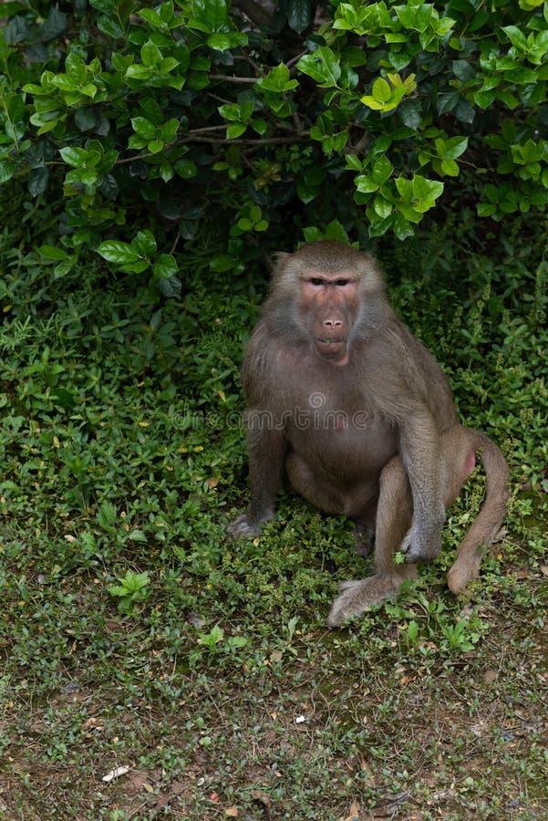 Ein Anstarren von Anstarrenpapio hamadryas stockfotografie