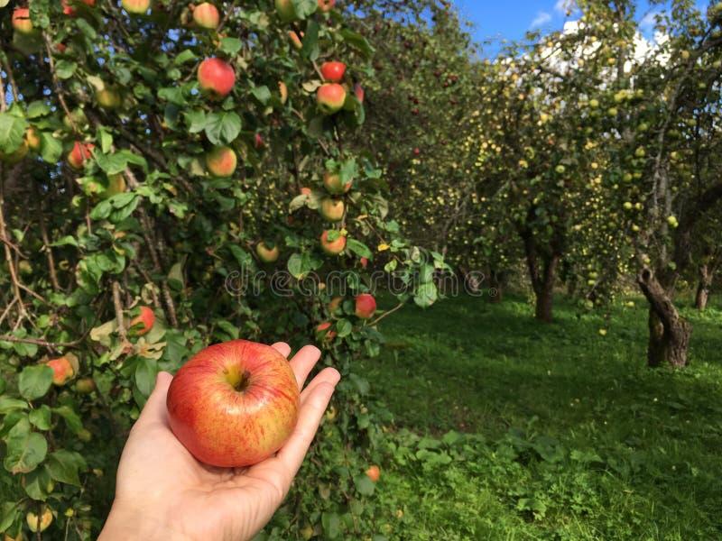 Ein Apfel in ihrer Hand stockbilder