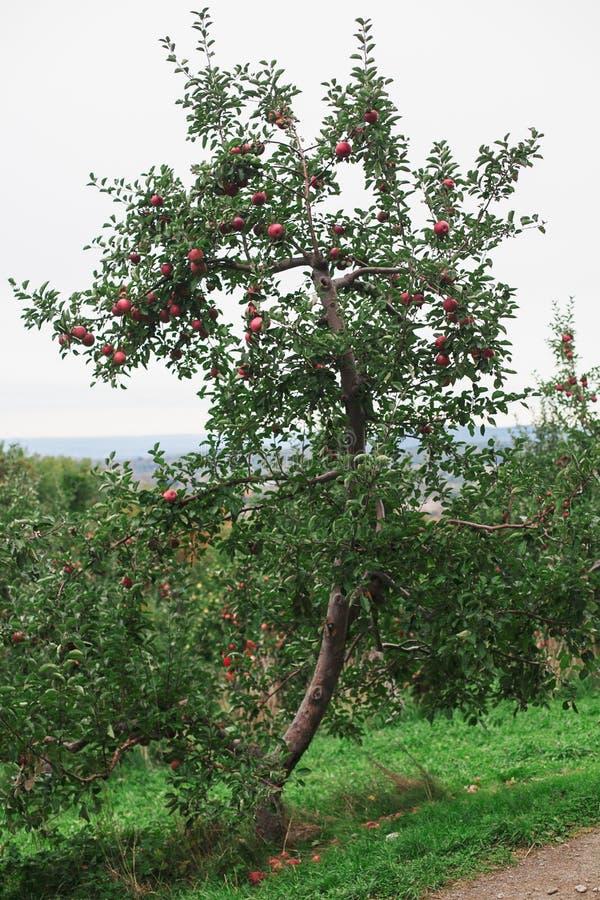Ein Apfelbaum in einem Obstgarten mit reifen roten Äpfeln stockfoto