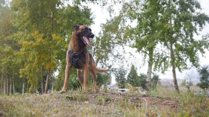 Ein ausgebildeter Schäferhundhund, der auf einem Feld schaut rechts bleibt lizenzfreies stockfoto