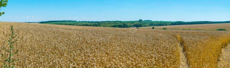Ein ausgezeichnetes Panorama des endlosen Feldes des goldenen Weizens unter einer hellen warmen Sonne, die weg ausdehnt, um Felde stockbild