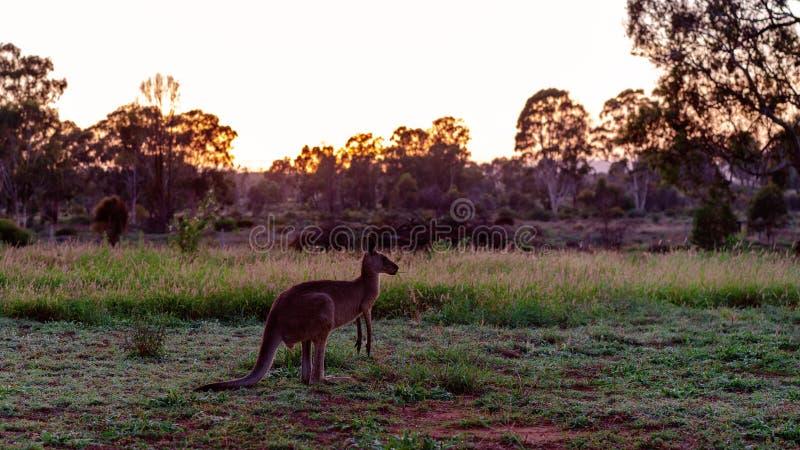 Ein australischer Känguru bei Dawn In The Outback stockbild