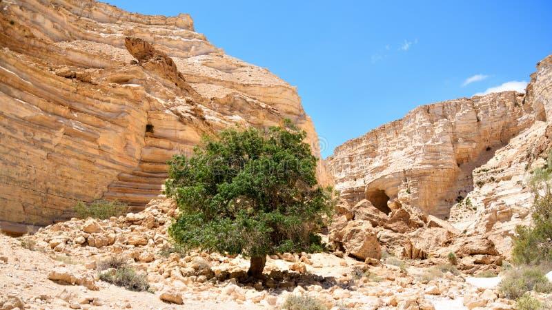 Ein Avdat绿洲在Neqev沙漠,偏僻的树 图库摄影