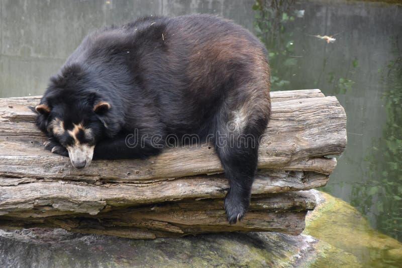 Ein Bär, der ein Nickerchen hält lizenzfreies stockbild
