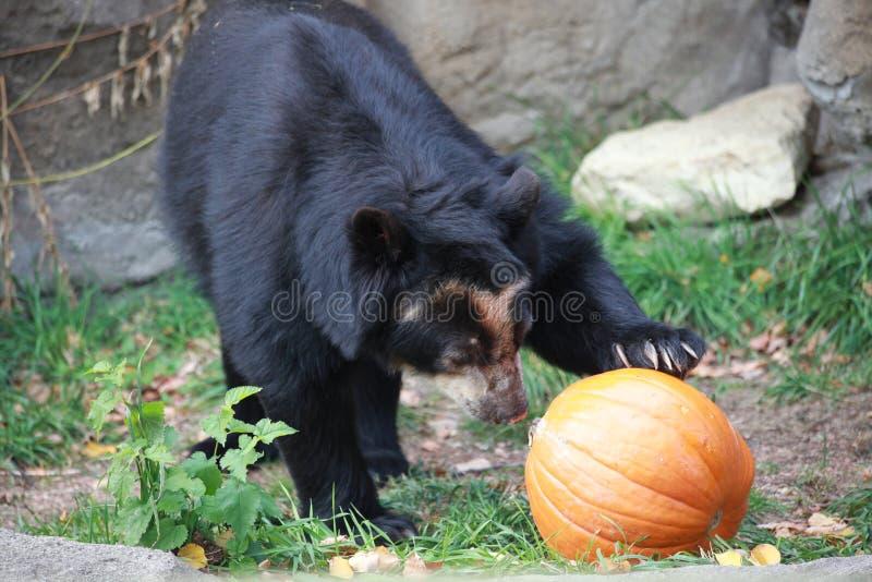 Ein Bär, ein Kürbis lizenzfreies stockfoto