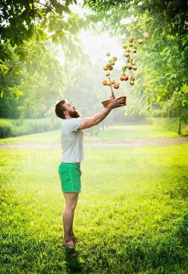 Ein bärtiger Mann auf einer Grünwiese wirft Äpfel aus Korb auf einem Hintergrund heraus der natürliche Solarhintergrund lizenzfreies stockfoto