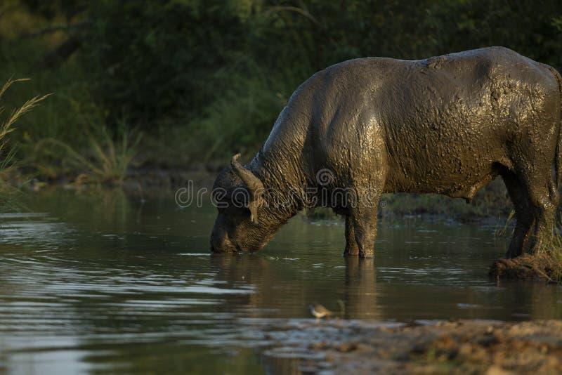 Ein Büffelstier bedeckt in Trinkwasser des Schlammes lizenzfreie stockfotos