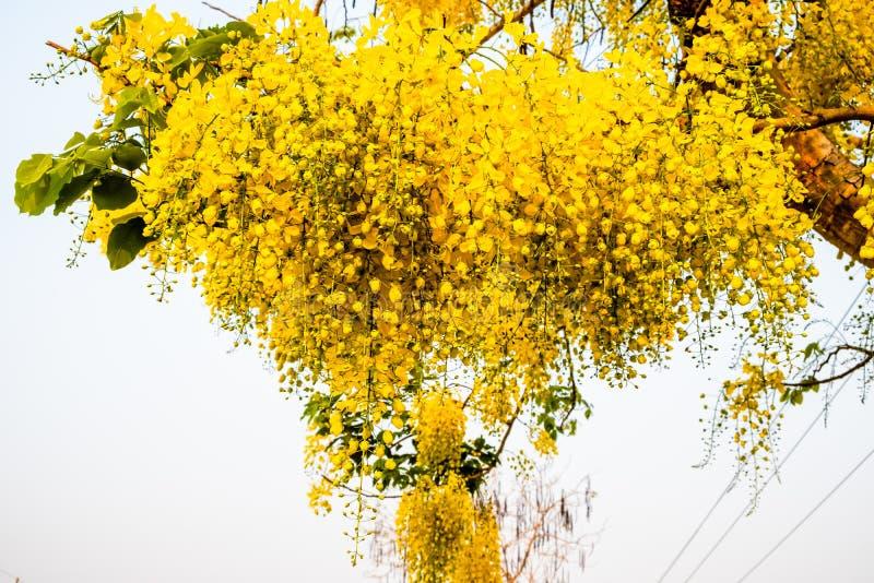 Ein Bündel der gelben goldenen Duschblume gegen hellen weißen Hintergrund lizenzfreie stockfotografie