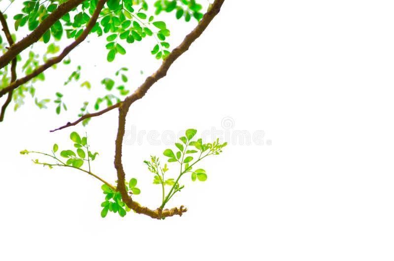 Ein Bündel des grünen Meerrettich-Baum Moringa.oleifera-Fluchtblattes keimt auf es die Zweige, die auf weißem Hintergrund lokalis stockfoto
