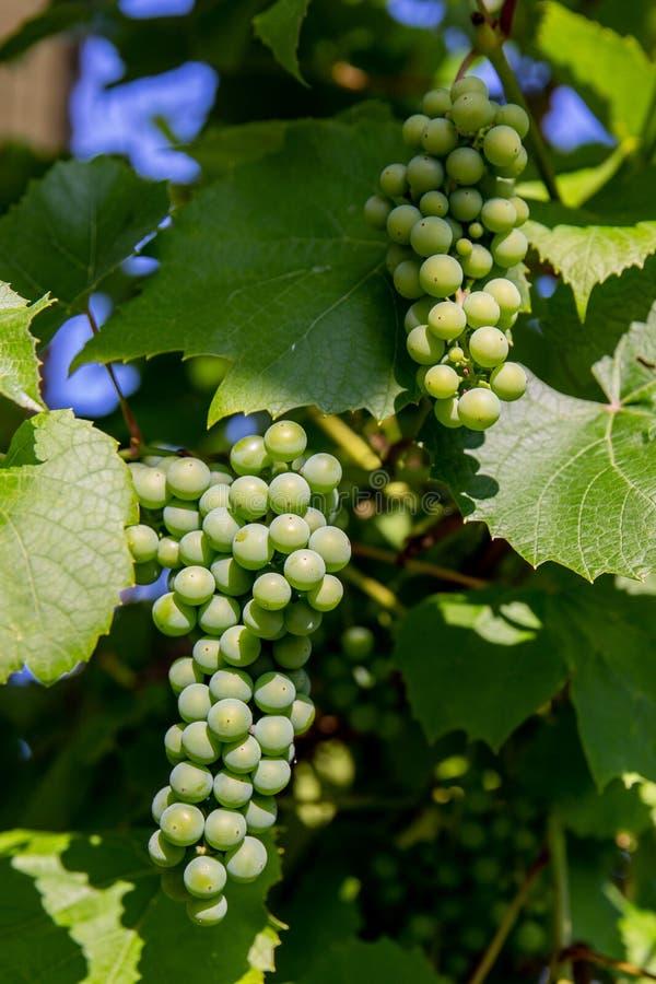 Ein Bündel grüne Trauben stockbild