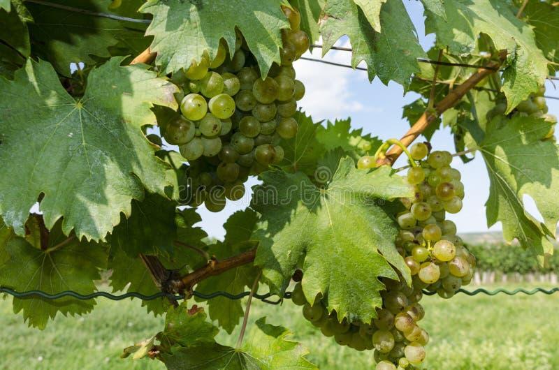 Ein Bündel reife Trauben auf einem Weinstock lizenzfreie stockfotografie