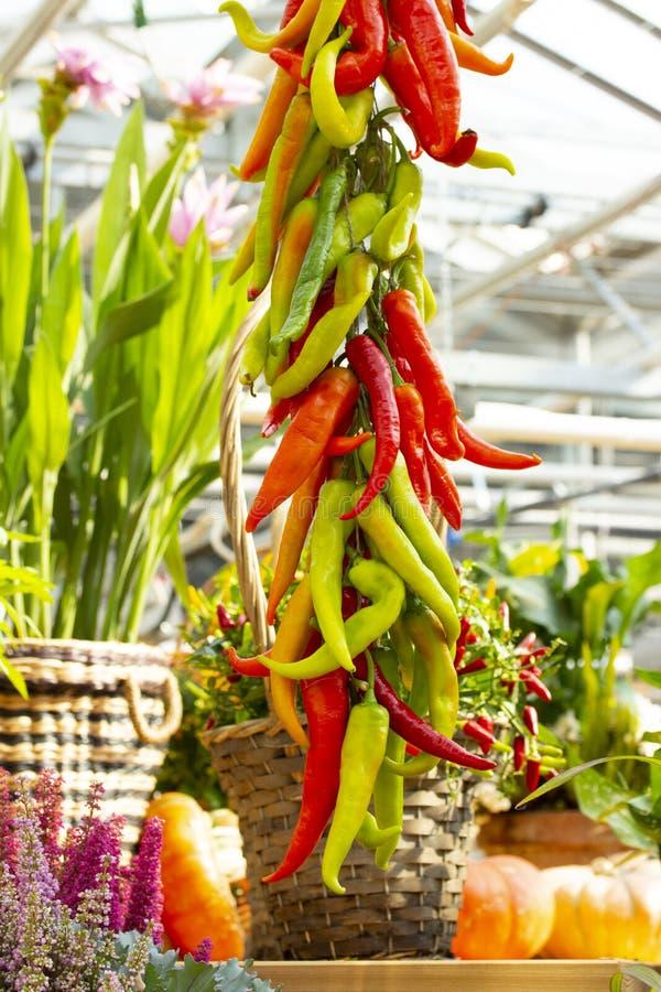 Ein Bündel rotes grünes reifes erntendes Gemüse der Pfeffer des scharfen Paprikas Lange dünne Peperoni, Jalapenopaprikapaprika, w lizenzfreies stockfoto