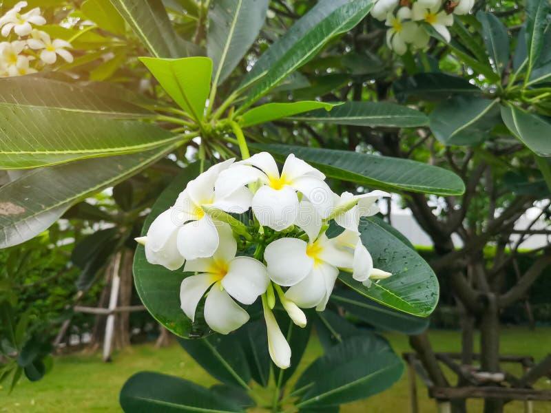 Ein Bündel schöner weißer und gelber Blumenblätter Plumeria, der auf grünen Blättern in einem Park blüht, wissen als Tempelbaum,  stockbild