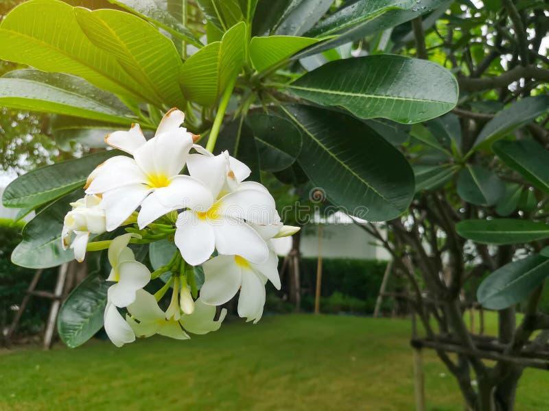 Ein Bündel schöner weißer und gelber Blumenblätter Plumeria, der auf grünen Blättern in einem Park blüht, wissen als Tempelbaum,  stockbilder
