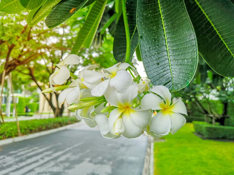 Ein Bündel schöner weißer und gelber Blumenblätter Plumeria, der auf grünen Blättern in einem Park blüht, wissen als Tempelbaum,  lizenzfreies stockbild