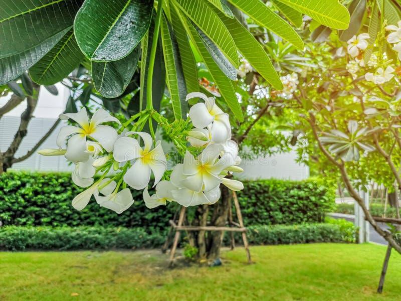 Ein Bündel schöner weißer und gelber Blumenblätter Plumeria, der auf grünen Blättern in einem Park blüht, wissen als Tempelbaum,  lizenzfreie stockfotos
