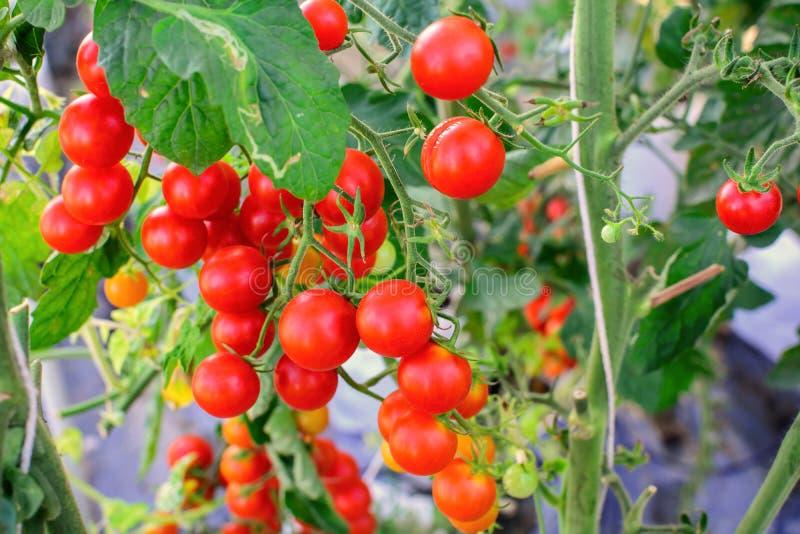 Ein Bündel Tomatenanbau im landwirtschaftlichen Biohof stockfotografie
