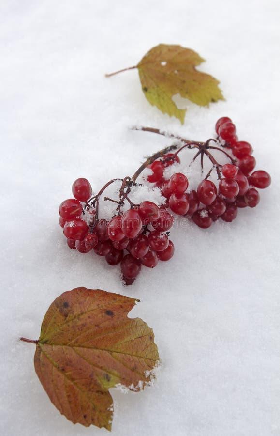 Ein Bündel Viburnum- und Gelbblätter fiel auf den ersten Schnee stockbild