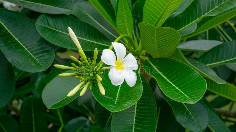 Ein B?ndel sch?ner wei?er und gelber Blumenbl?tter Plumeria, der auf gr?nen Bl?ttern in einem Park bl?ht, wissen als Tempelbaum stockfotografie