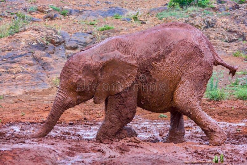 Ein Baby-afrikanischer Elefant gleitet im Schlamm stockfotografie