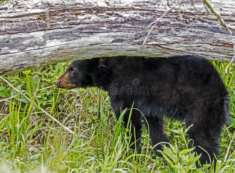 Ein Baby schwarzer Bär steht unter einem gefallenen Klotz stockbild